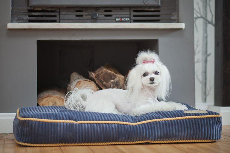 stylowe legowisko dla psa ze sztrusku Szafir od Bowl&Bone Republic dostępne: słodki bulldog francuski i jego stylowe legowisko ze sztruksu Amber http://www.animalpresent.pl/