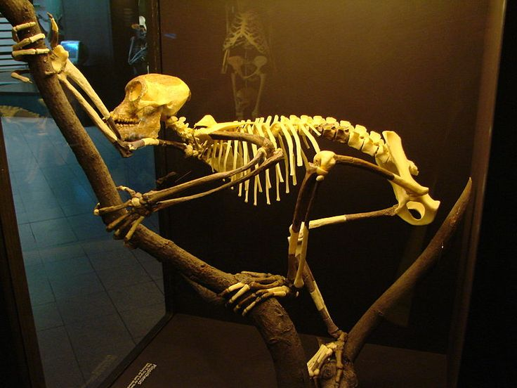Reconstruction of the skeleton of Proconsul. Museum of Athropology, Irchel campus, University of Zurich. Photo by Guérin Nicolas.