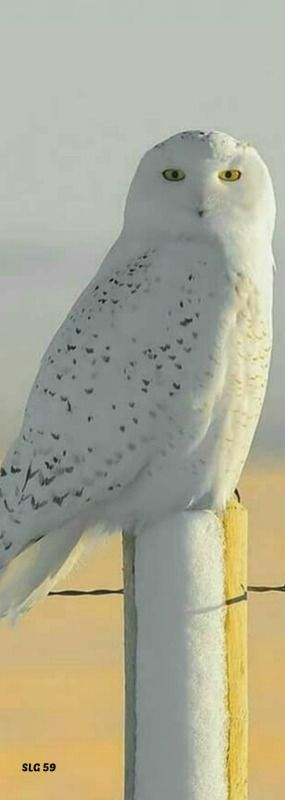 Beautiful Snow Owl