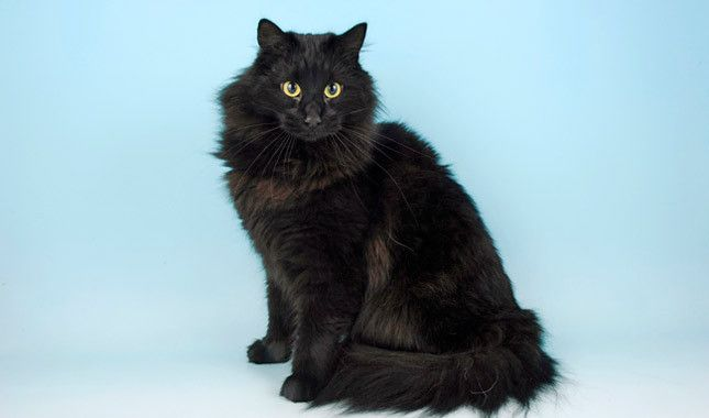 Norwegian Forest: The Wegie, as he's nicknamed, is a large cat who looks as if he would be perfectly at home stalking prey in a forest or fishing out of a creek. He has a long, beautiful coat, tufted ears and a plumed tail. This is a gentle, friendly cat who loves being around people.