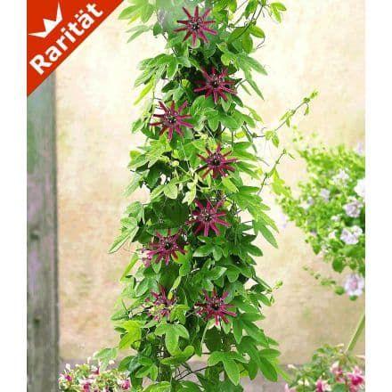 Unique Winterharte Passionsblume uLadybirds Dream u Pflanze BALDUR Garten GmbH