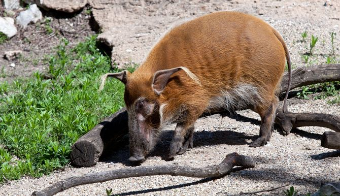The zoo's first-ever red river hog is now roaming the east outdoor exhibit at Regenstein African Journey. A 5-year-old from Columbus Zoo,