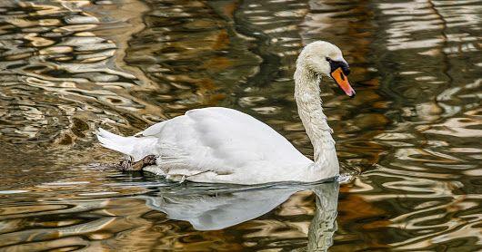 Los cisnes salvajes.  Parte 2º.   Hans Christian Andersen