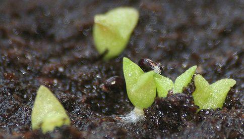 Explicaremos de manera sencilla un método que se utiliza para cualquier especie, y tener éxito al germinar semillas de cactus.