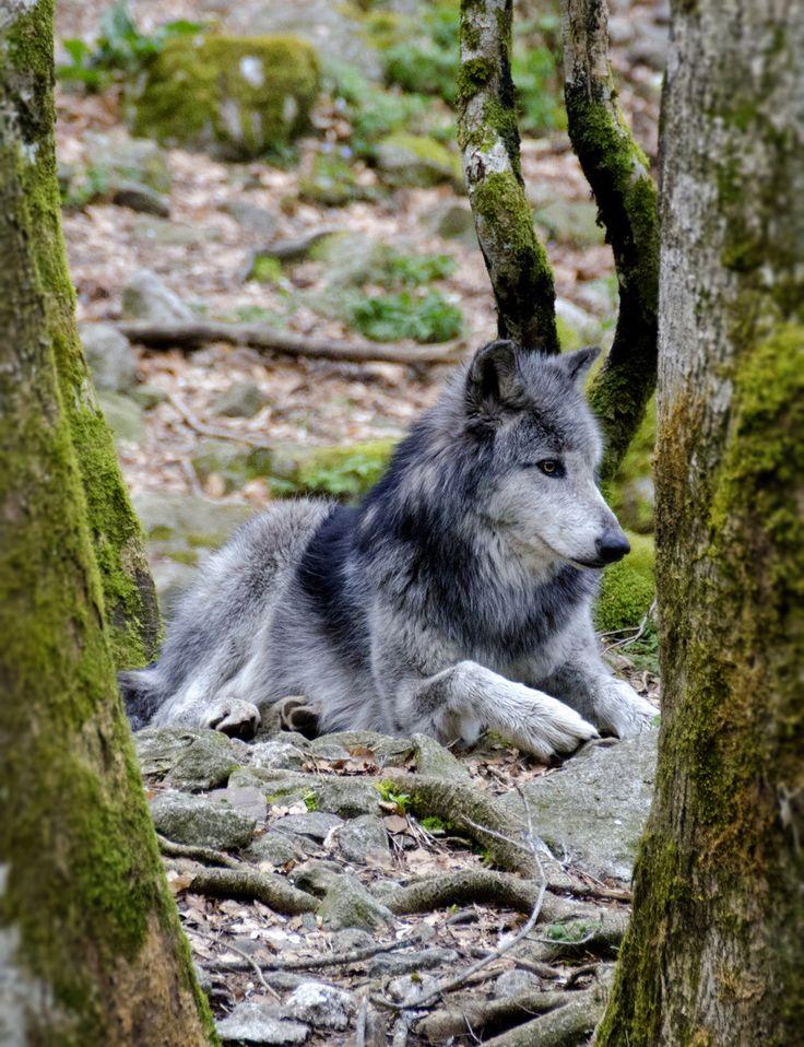 Grey Wolf, weer in opkomst in Nederland, totdat het ook weer problemen gaat geven, wij hebben te veel beton ipv. natuur, op industrieterreinen,overal lege grote gebouwen, en er wordt vrolijk verder gebouwd, blij dat de wolf weer opkomst is, ik moet dat nog bezien, in het voordeel van dit mooie schuwe dier..........lbxxx.