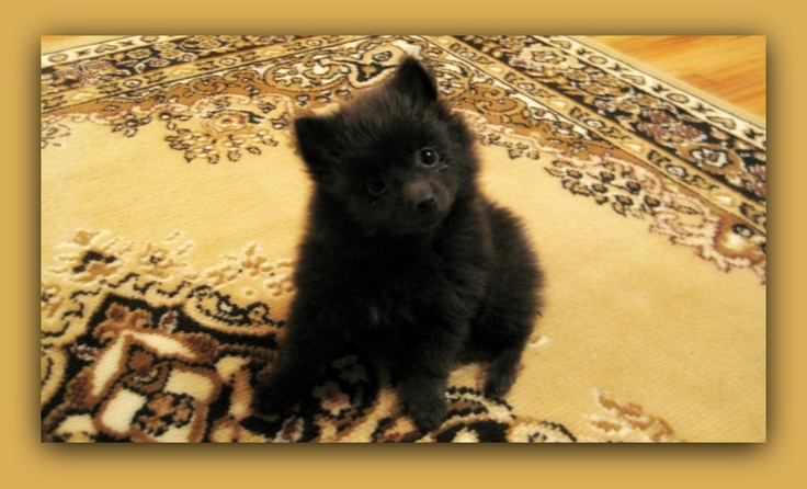Pomeranian puppy looks like a Bear cub! | Cute Animals ...