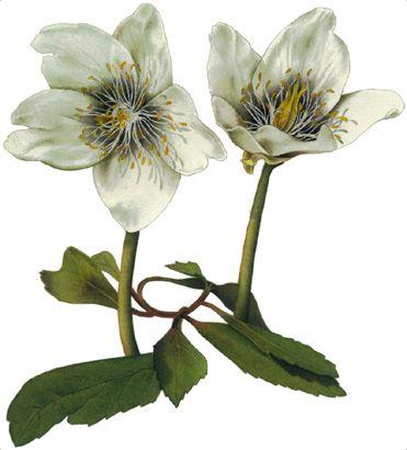 Albero e foglio: Illustrazione botanica