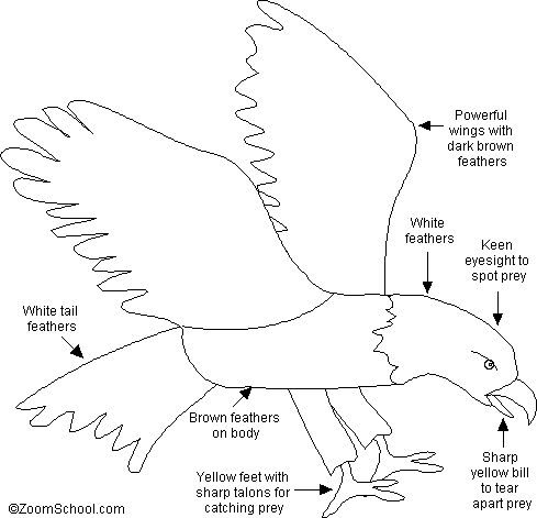 Bald Eagle Printout- EnchantedLearning.com - Nice printout for the 3 Cheers for Animals Journey to send home with the girls.