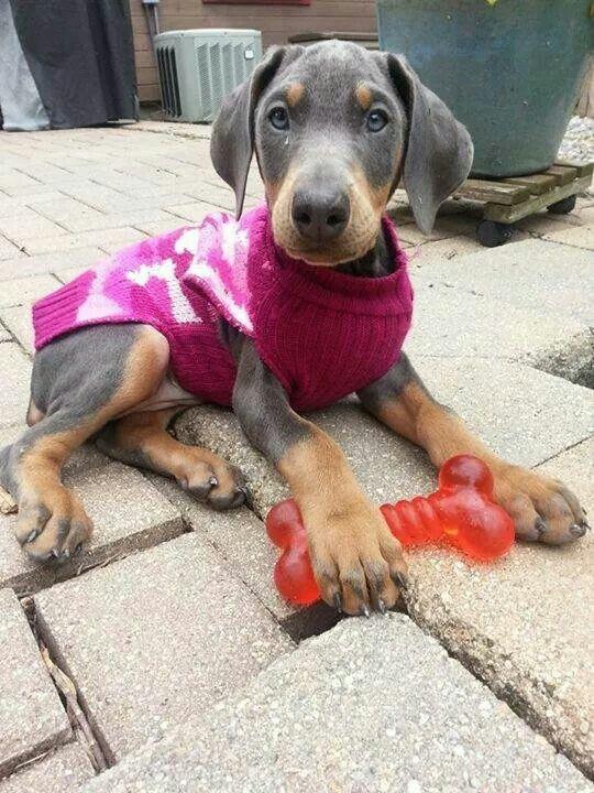 Doberman puppy. I looks like a Isabel blue dobey so cute.