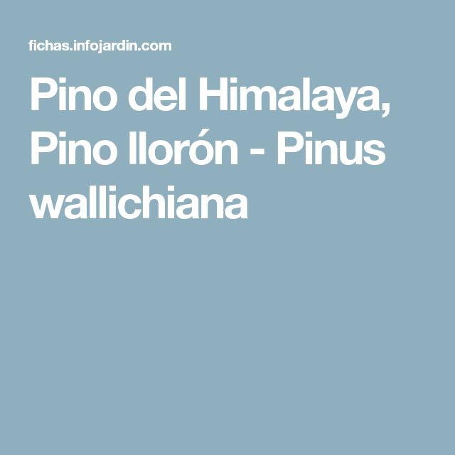 Pino del Himalaya, Pino llorón - Pinus wallichiana