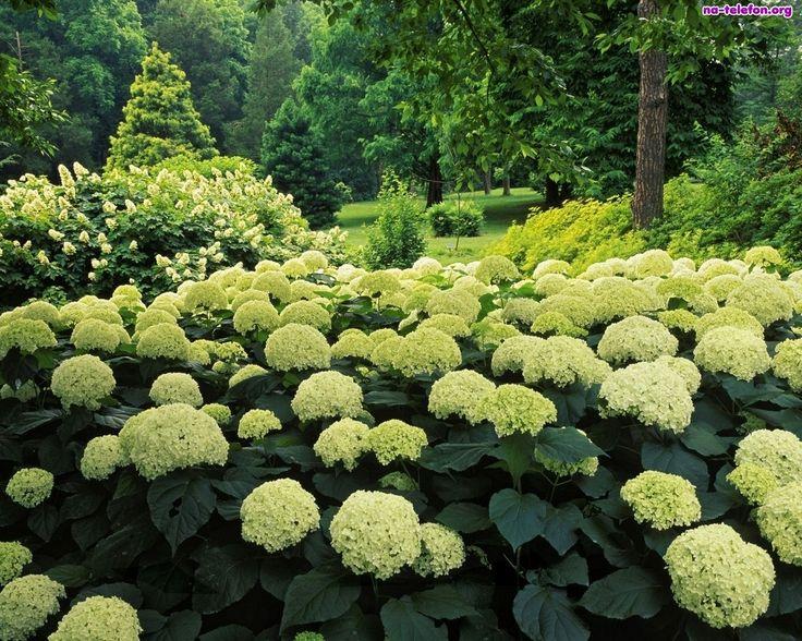 hortensje białe anabell kwiaty ogród byliny