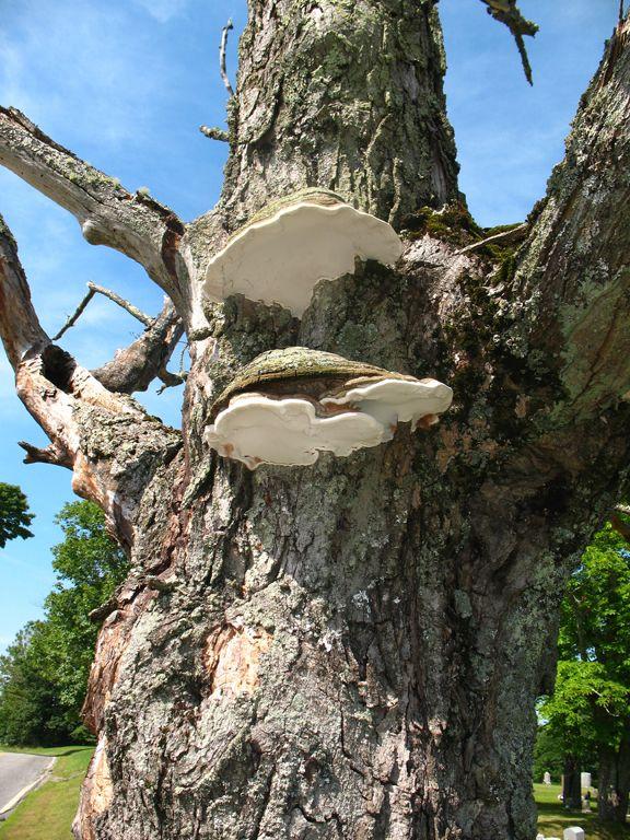 Artist's Conk (Ganoderma applanatum) - Mushroom-Collecting.com