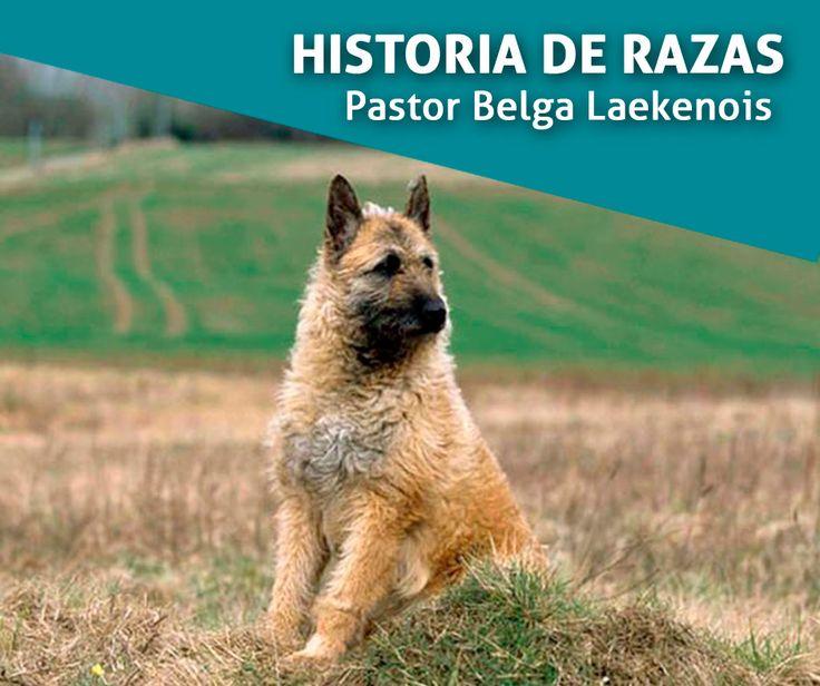 """Historia de razas: El Pastor Belga Laekenois Tiene su origen en Bélgica y fue reconocida por la F.C.I el 1 de Enero de 1956. La raza nace oficialmente entre 1891 y 1897. El 29 de septiembre de 1891, se funda en Bruselas el """"Club del Perro de Pastor Belga"""" y ese mismo año, el 15 de noviembre, el profesor A. Reul logra el agrupamiento de 117 perros, lo que le permite llevar a cabo un censo y hacer un escogido de los mejores ejemplares."""