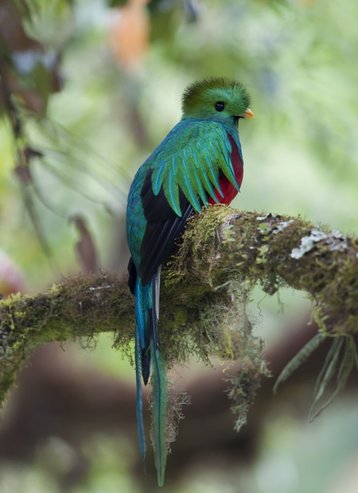 Resplendentquetzalsavegre Forest And Wildlife Beautiful Birds Magical Forest