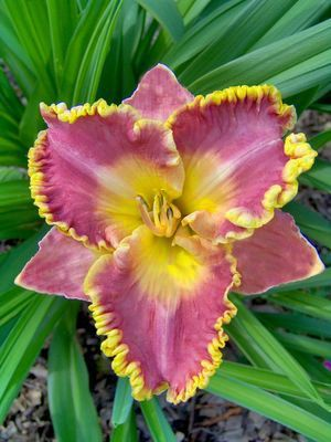 """Daylily """"French Lingerie"""""""