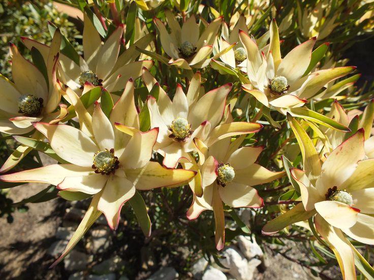 Leucadendron in flower