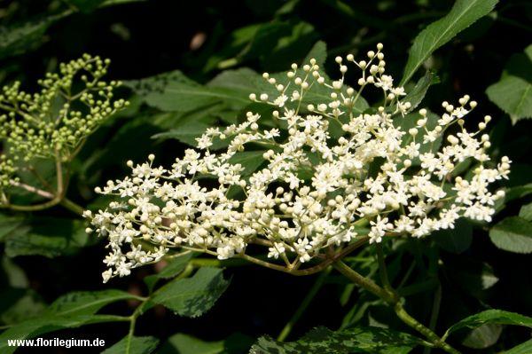 25 best ideas about sambucus nigra on pinterest petit jardin l 39 inglaise fronti re. Black Bedroom Furniture Sets. Home Design Ideas