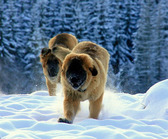Pups in Snow by AmyKippernes