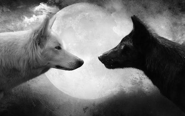 Foto van twee wolven bij volle maan   Achtergrond Wallpapers