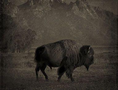 buffalo_tetons