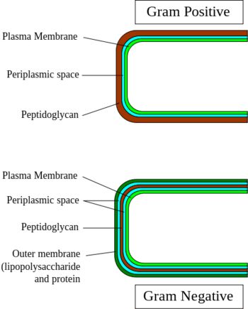 Gram-positive and negative bacteria are chiefly differentiated by their cell wall structure