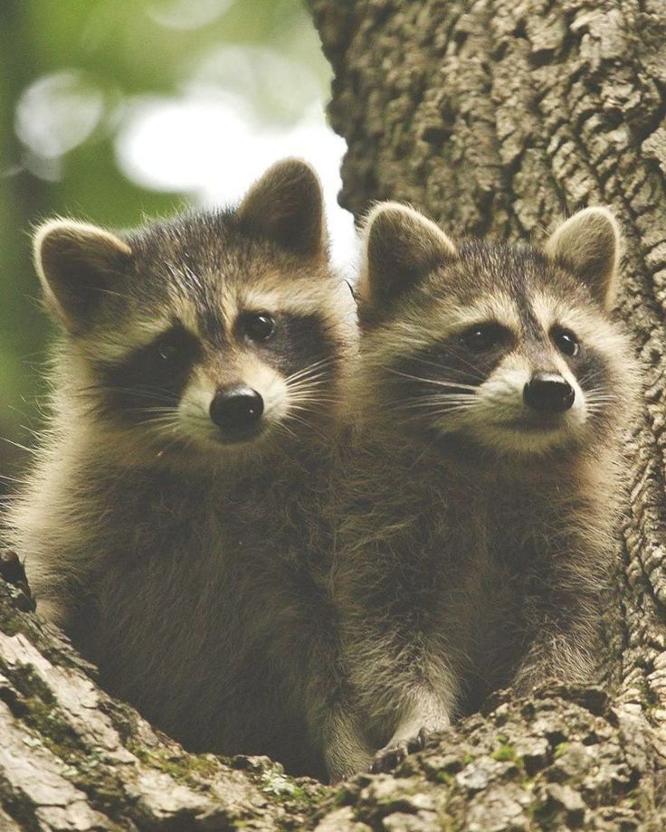 Two young raccoons sitting in a tree in Shenandoah