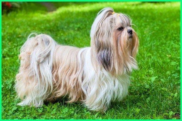 Jenis Anjing Shih Tzu Kesayangan Kaisar China Sobachki Sobaki