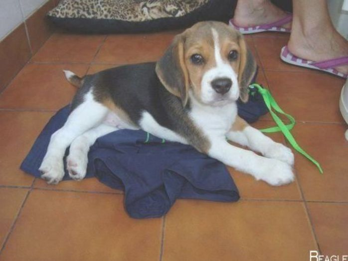Everything About The Curious Beagle Pup Exercise Needs Beaglestagram Beagleme Beaglesfunny Beagle Puppy Beagle Dog Beagle