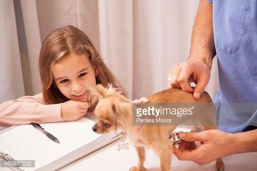 Stock Photo : Veterinarian holds Chihuahua dog. Little girl owner pets her.