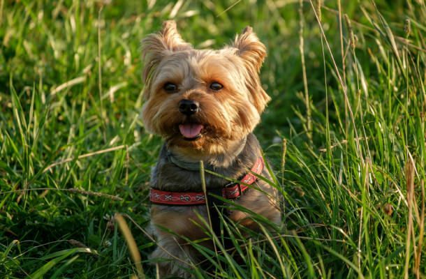 Yorkie Habits Temperament And Personality Yorkshire Terrier Funny Yorkshire Terrier Dog Yorkshire Terrier
