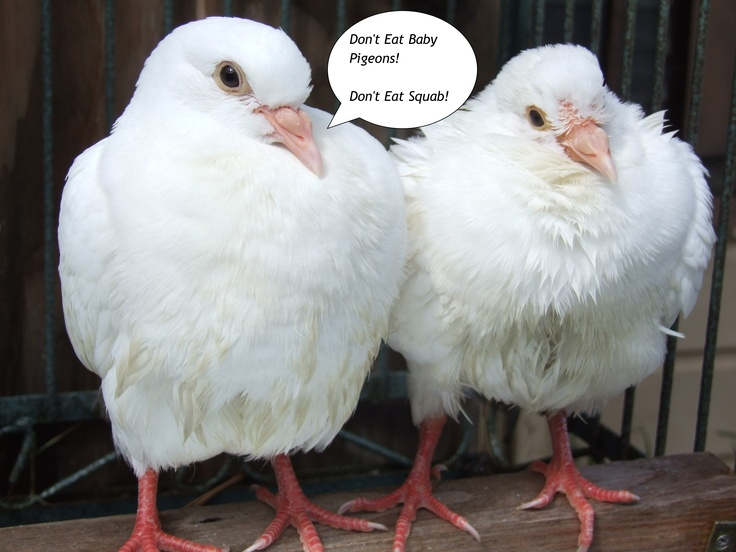 Don't eat baby pigeons! Don't eat squab!   So You Think ...