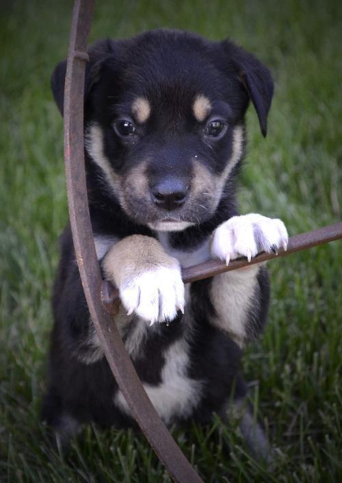 Australian Shepherd/Rottweiler Mix | So Cute | PinterestAustralian Shepherd Rottweiler Mix Information