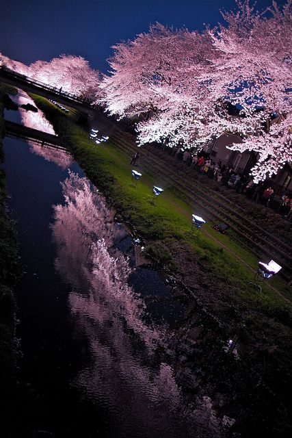 Light up the cherry blossom Japan