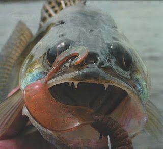 О рыбалке: Делимся опытом: Когда возвращается судак, осеняя р...