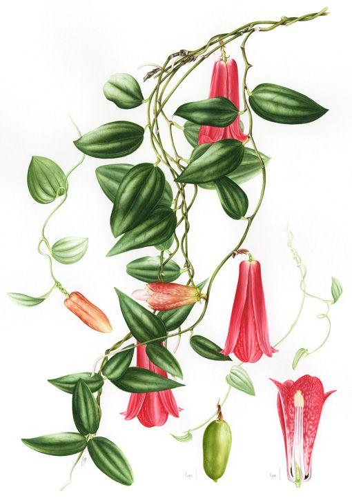 IŞIK GÜNER Botanical Art. Lapageria rosea. Chile.
