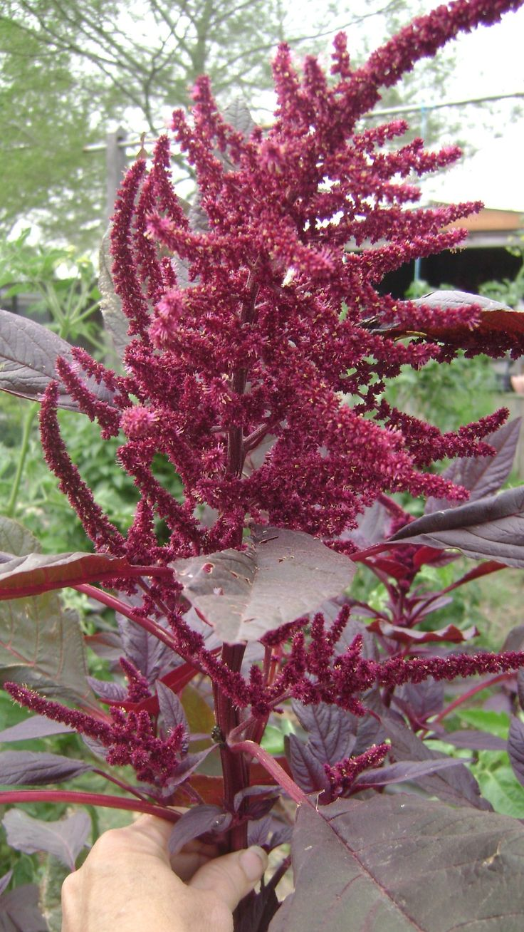 Grow Whole Grain Flour Hopi Red Dye Amaranth Witch