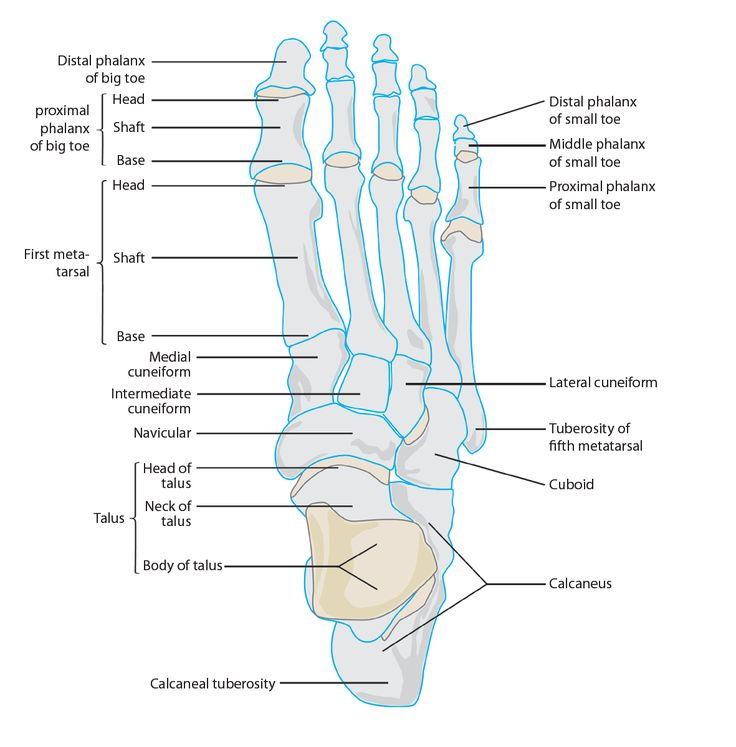 20 Best Bones Of The Foot Images On Pinterest Bones Human Body