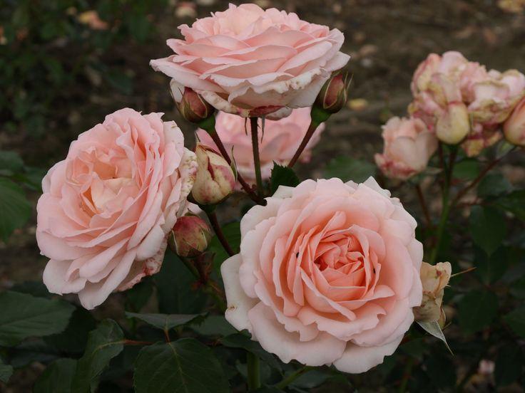 Clair Renaissance. Utmärkt blomning, 0,6-1,2 m hög. Starkt doftande.
