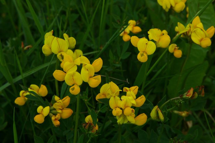 Lotus corniculatus (Bird's-foot Trefoil)