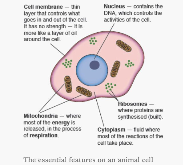 Animal cell. | AQA B2 | Pinterest