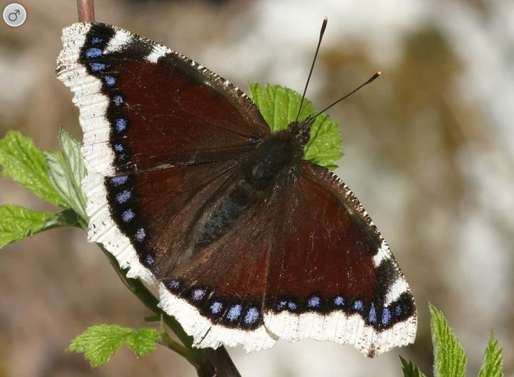 14. Mourning Cloak butterfly or Camberwell Beauty butterfly (Nymphalis antiopa)