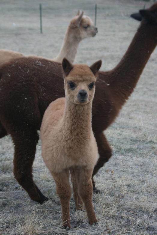 Our Alpaca Herucles