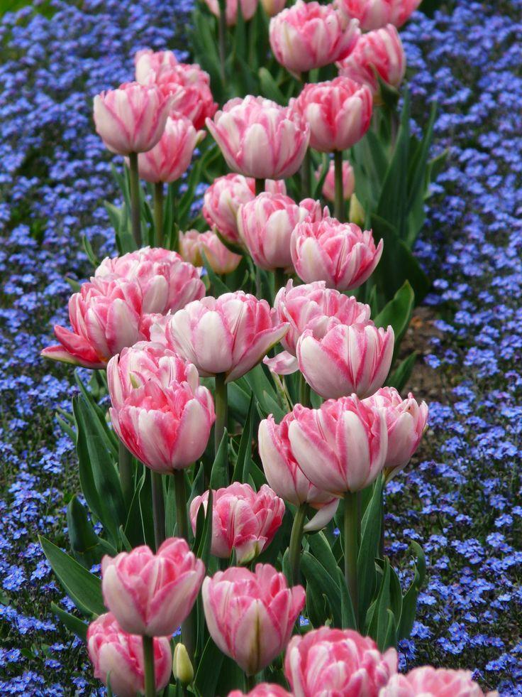 Blomsterrabatt av tulpaner.