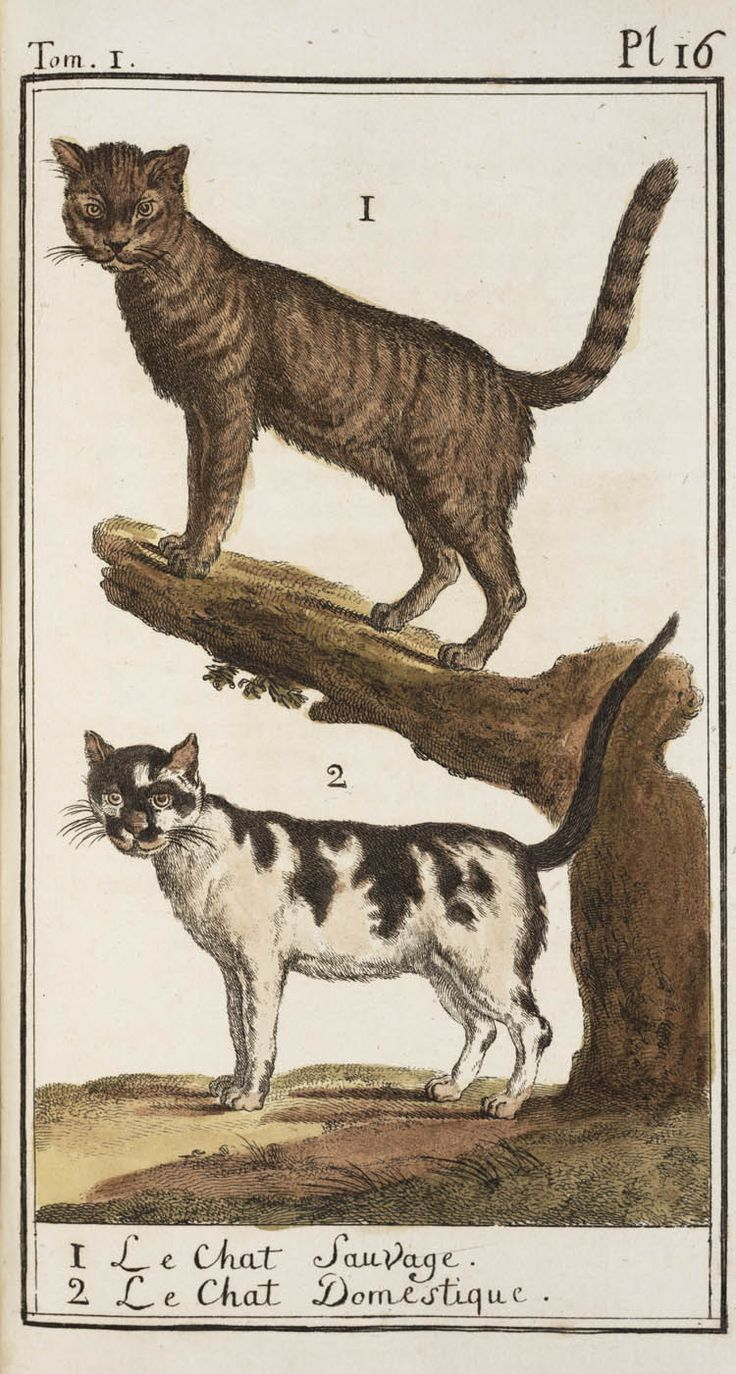 Wild and domesticated cats in Georges Buffon's Histoire naturelle, 1785.