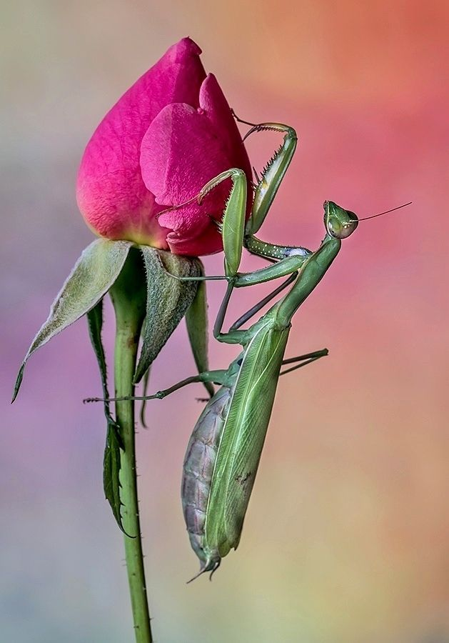 Praying Mantis on a Pink Rose Bud
