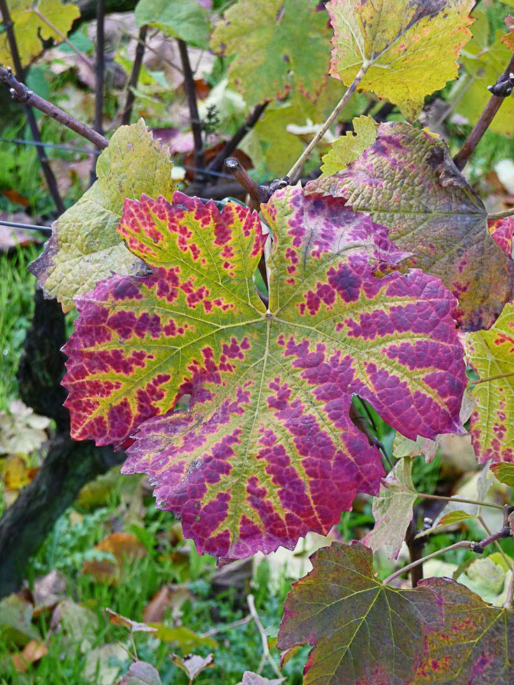 Feuille de vigne aux couleurs d'automne  http://www.pariscotejardin.fr/2012/11/feuille-de-vigne-aux-couleurs-d-automne/
