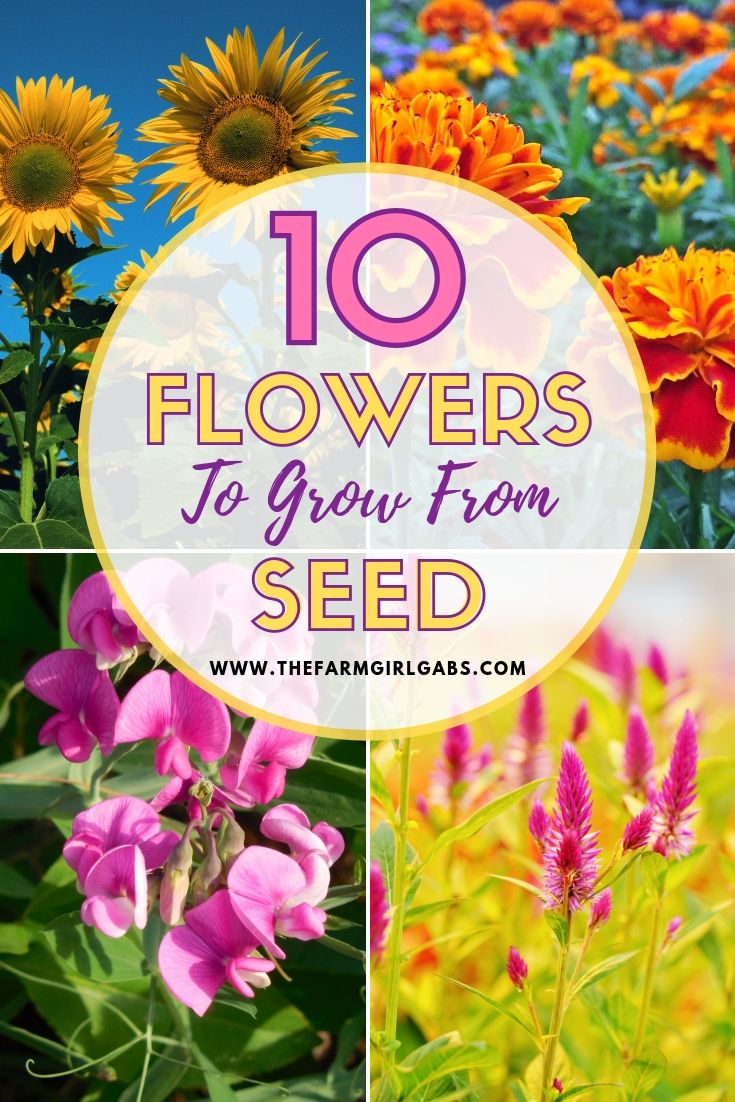 10 Annuals To Grow From Seed Growing Seeds Gardening Tips