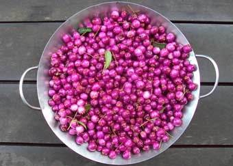 Lilli Pilli - beautiful bush tucker fruiting in Autumn- could be on your doorstep!