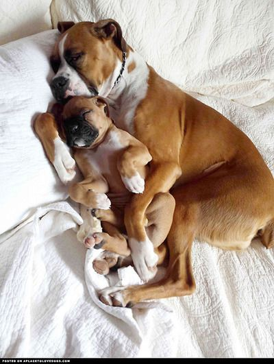 This is adorable.  A mom Boxer cuddled up with her puppy while they sleep.  #puppied PP:  dog-pictures: Dog Pictures