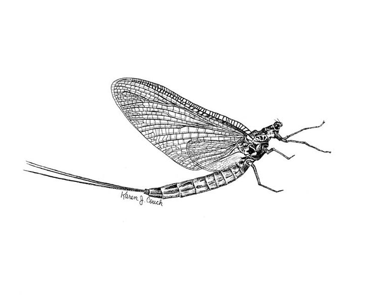Mayfly illustration etch flying google search tattoo for Fly fishing entomology